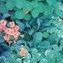nasturtiums. (Nasturtium officinale )