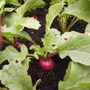 Radish &quot;Jolly&quot;