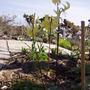 """Erythonium """"Pagoda"""" (Erythronium japonicum """"Pagoda"""")"""