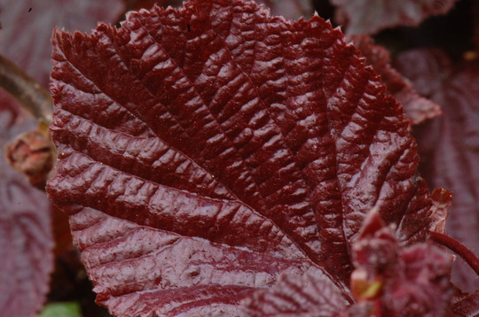 corylus avellana contorta 39 red majestic 39 grows on you. Black Bedroom Furniture Sets. Home Design Ideas
