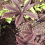 "Rodgersia pinnata ""Chocolate Wing"""