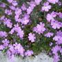 Erinus alpinus (Erinus alpinus (Alpenbalsam))