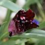 """Tulip """"Black Parrot"""" (Tulipa)"""