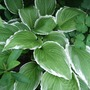 Hosta undulata 'Albomarginata' (Hosta undulata)