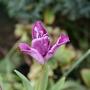"""Tulip """"Blue Parrot"""" (Tulipa)"""