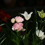 Tulip.s