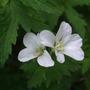 Unknowm_white_geranium