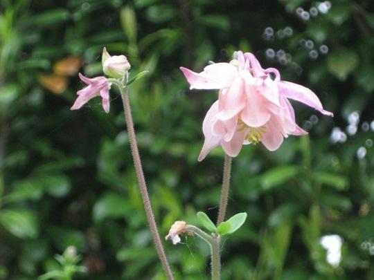 Aquilegia alpina pink (Aquilegia alpina)