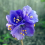 Jacobs Ladder (Polemonium caeruleum (Jacob's ladder))