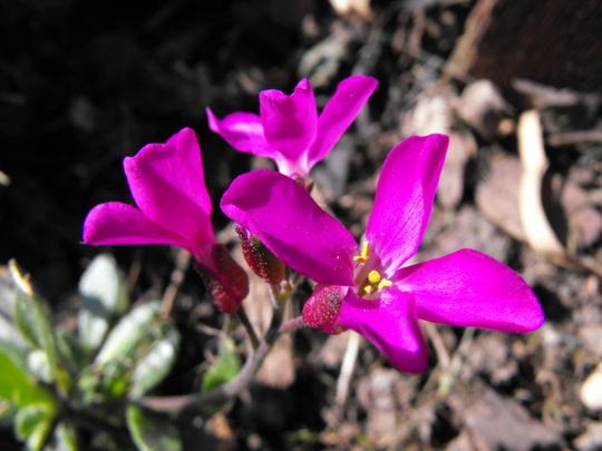 "Arabis ""Rose Delight""  (Arabis alpina (Alpine Rock-cress))"