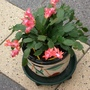 Christmas Cactus in May!!!