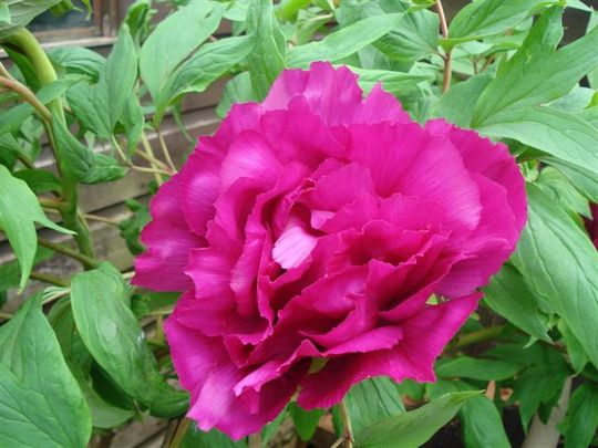 Another of my daughters peony