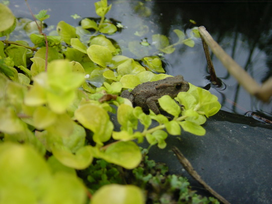 a tiny toad between Creeping Jenny near the pond (Lysimachia nummularia (Creeping jenny))