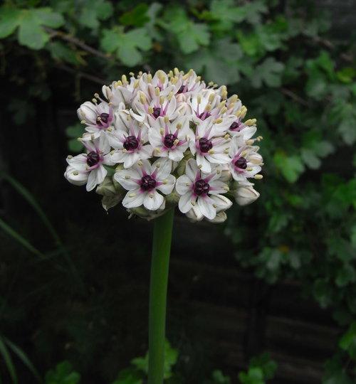 Allium nigrum - 2010 (Allium nigrum)