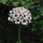 Allium_nigrum_2010