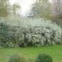 Meadowsweet  (Spiraea thunbergii)