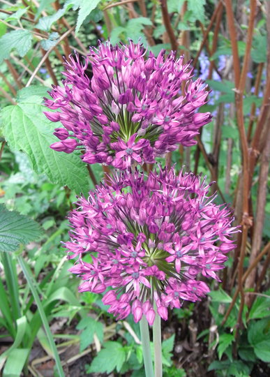 Allium 'Purple Sensation' - 2010 (Allium 'Purple Sensation')