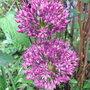 Allium_purple_sensation_2010