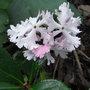 Primula sieboldii 'Lilac Sunbonnet'
