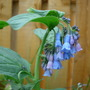 Mertensia Virginicum (Mertensia virginica (Virginia Bluebells))