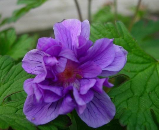 Geranium Himaleyense 'Plenum' (Geranium himalayense (Hardy geranium))