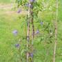 Clematis_alpina_x_macropetala2