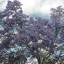 Jacaranda mimosifolia - Jacaranda Trees in downtown San Diego (Jacaranda mimosifolia - Jacaranda Tree)