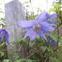Clematis Macropetala Blue Boy
