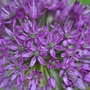One of my 30 Alliums
