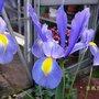 Iris_3.jpg