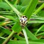14 spotted Ladybird.