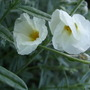 Helianthemum 'The Bride' (Helianthemum)