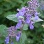 Nepeta racemosa (Nepeta racemosa (Catmint))