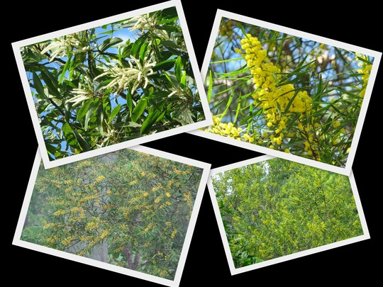 End-of-Autumn Downunder:  Acacias are blooming out in the bushland. (Acacia)