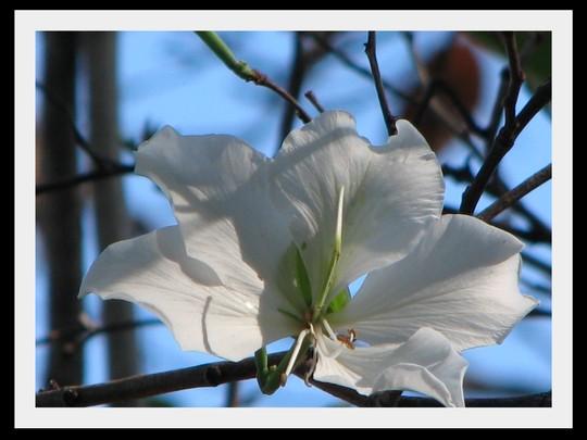 End-of-Autumn Downunder:  Bauhinia variegata 'Alba' is starting to bloom. (Bauhinia Variegata - Alba)