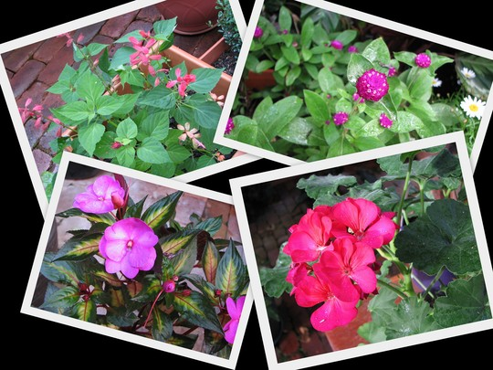 End-of-Autumn Downunder: Out in the Courtyard Garden blooms are appearing.