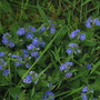 Speedwell (Veronica chamaedrys (Birds Eye))