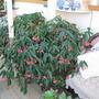 begonia  (begonia)