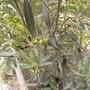 olives in October 2009 (Olea europaea (Aceituna))