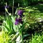 new irises...