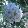 Spiraea, bridal wreath, flower close up (spiraea x arguta)