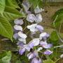Wisteria sinesis caroline (Wisteria sinensis (Chinese wisteria))