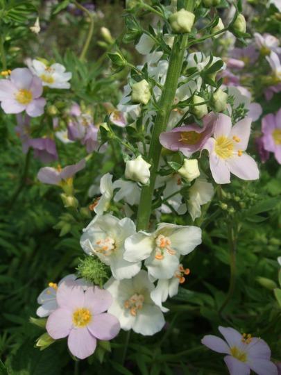 Yet another mingle! (Verbascum and Polemonium)