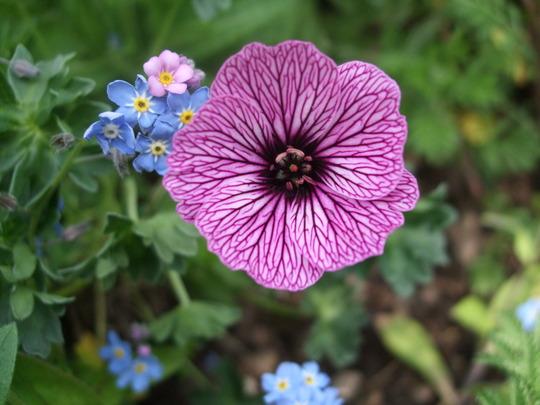 Geranium cinereum 'Lawrence Flatman' (Geranium cinereum)