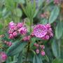 Kalmia latifolia (Kalmia latifolia (Calico bush))