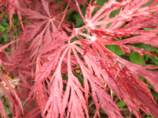 New leaves on the Acer dissectum (Acer palmatum )