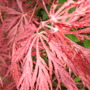 Acer_new_leaves