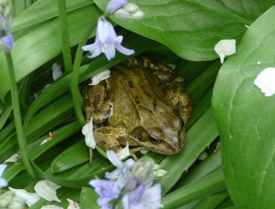 Frog squashing bluebells.