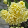 Lady Banks rose( rosa banksiae lutea)