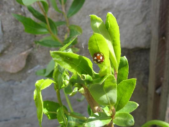 Brown ladybird sighted